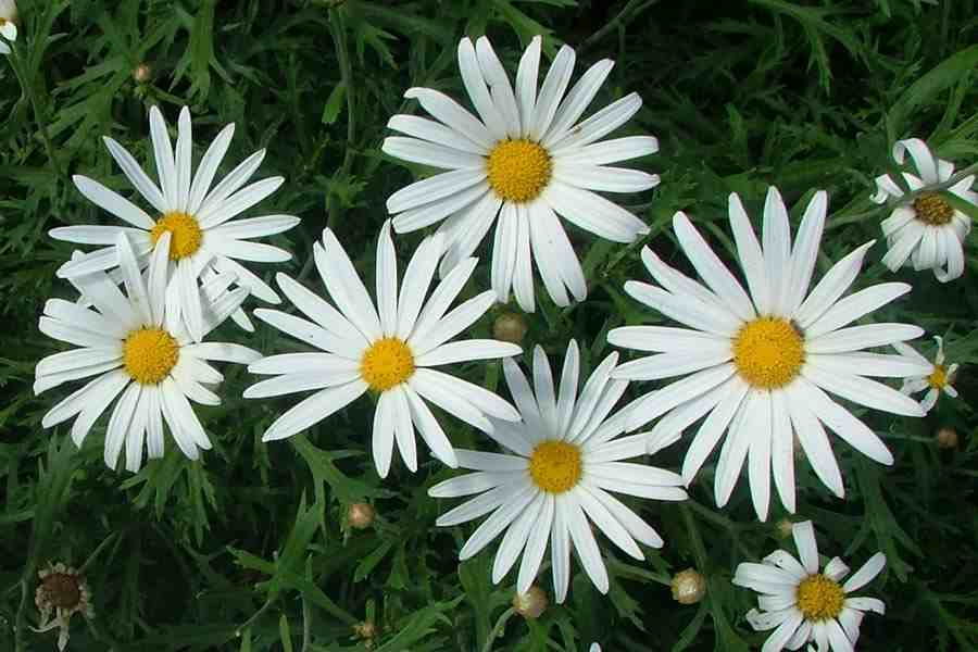 Argyranthemum Frutescens Subsp Frutescens