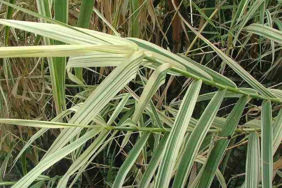 Phragmites australis leaves