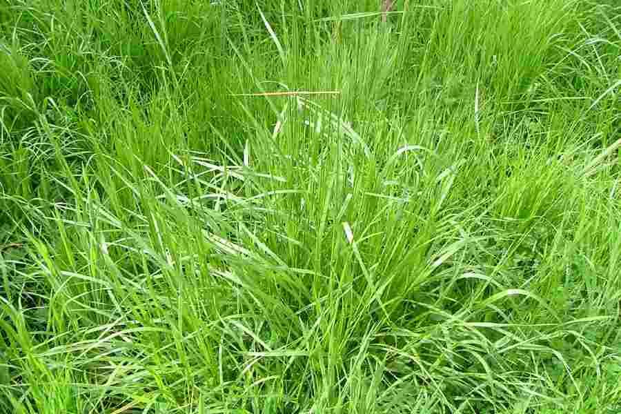 Weeds of Australia - Biosecurity Queensland Edition Fact SheetScientific NameSynonymsFamilyCommon NamesOriginNaturalised DistributionNotes