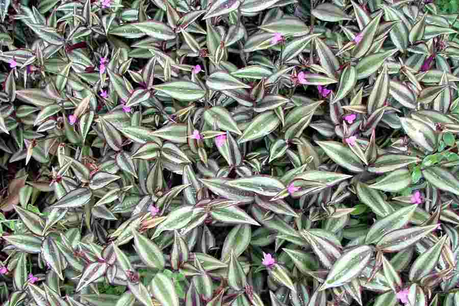 Tradescantia zebrina - Wandering jew plant name ...