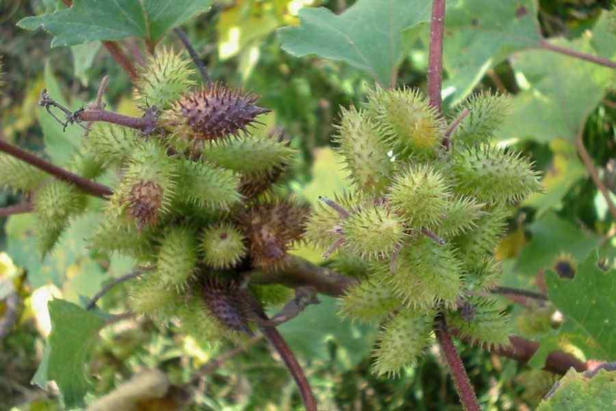 Xanthium Strumarium Flower Xanthium strumarium