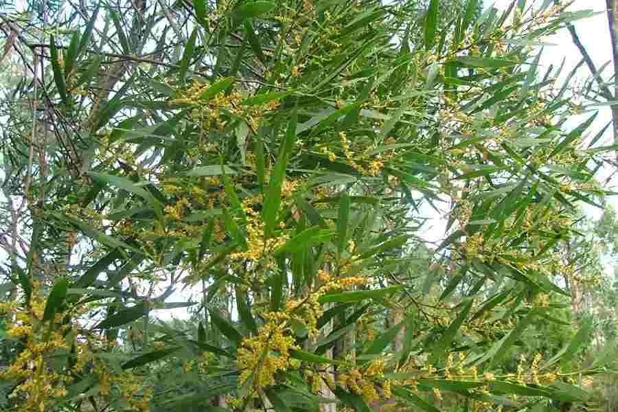 Acacia Longifolia Subsp Longifolia