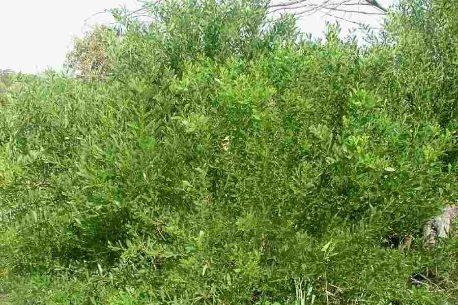 Acacia Longifolia Subsp Sophorae