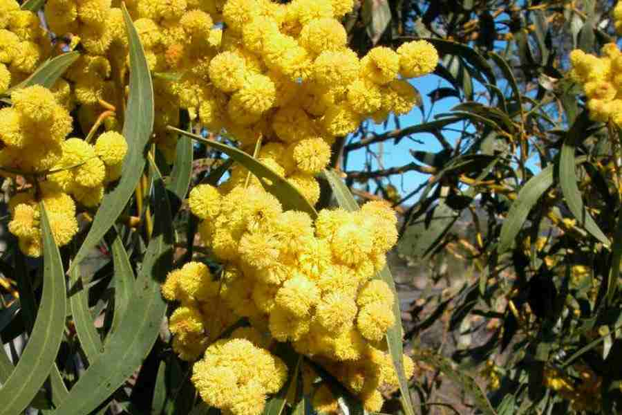 Acacia pycnantha close up of the globular flower clusters photo greg jordan mightylinksfo