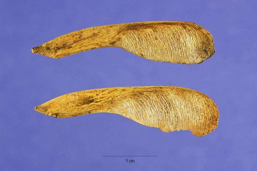 close-up of seeds (Photo: Steve Hurst at USDA PLANTS Database)