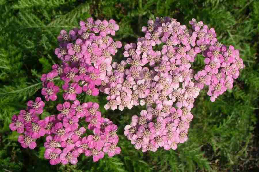 Achillea millefolium pink flower heads photo sheldon navie mightylinksfo