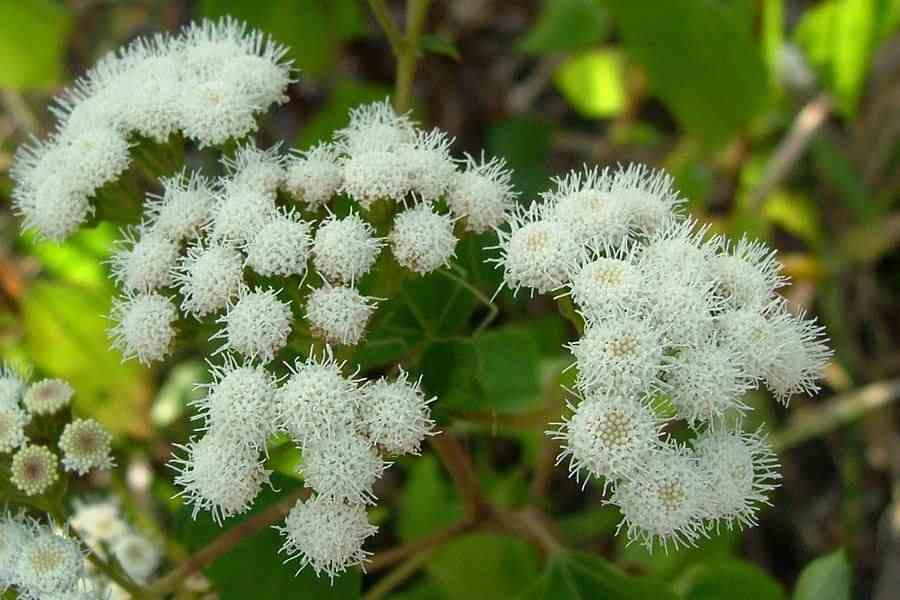 Ageratina adenophora the small white flower heads are borne in dense clusters photo sheldon navie mightylinksfo