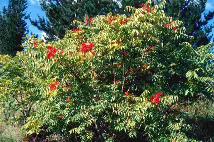 Resultado de imagen de Ailanthus altissima