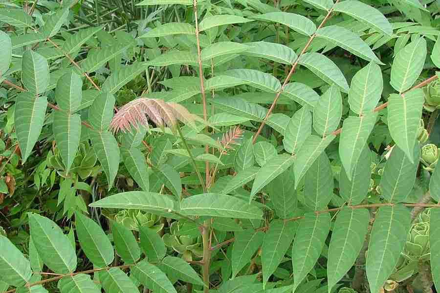 Ailanthus altissima