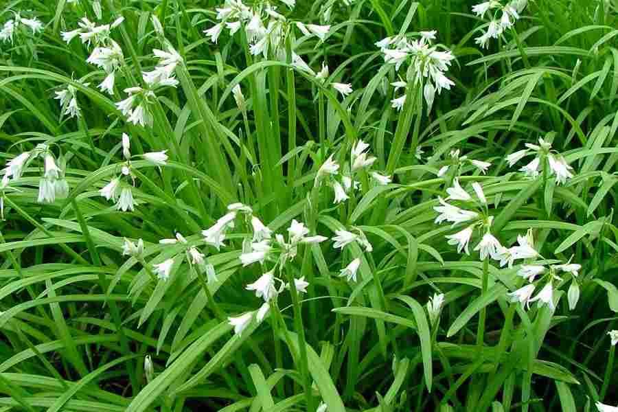 Allium triquetrum habit photo sheldon navie mightylinksfo