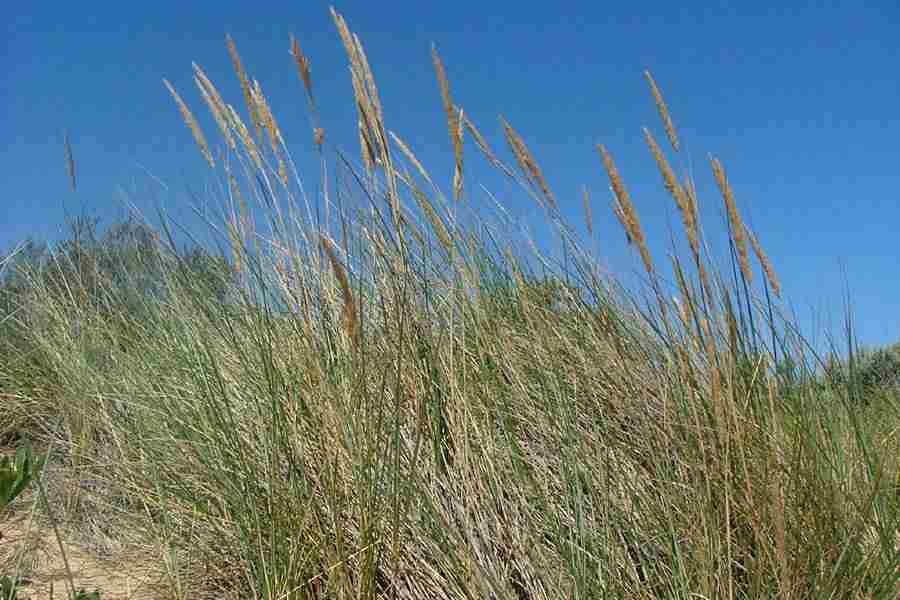 Resultado de imagen de Ammophila arenaria