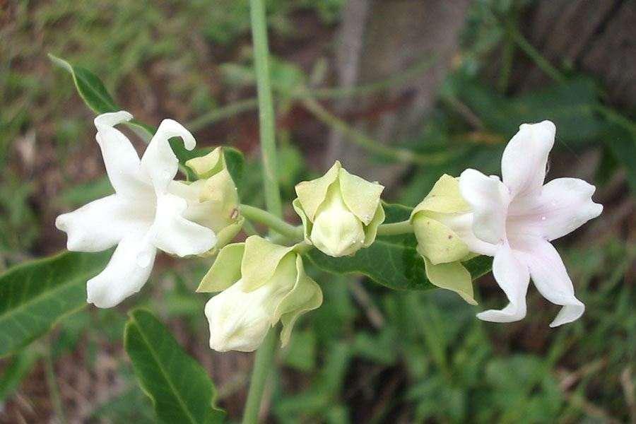 Araujia sericifera tubular whitish flowers and flower buds photo sheldon navie mightylinksfo