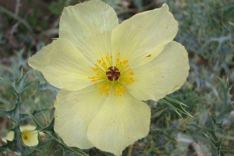 Argemone ochroleuca subsp ochroleuca close up of pale yellow flower with deeply lobed stigma photo sheldon navie mightylinksfo
