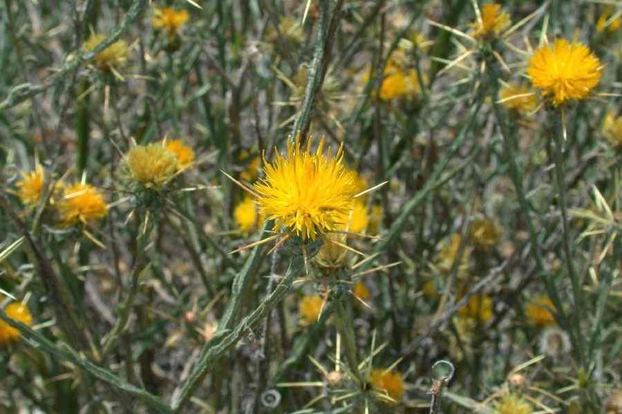 Centaureasolstitialis28rfrg flower heads photo rob and fiona richardson mightylinksfo