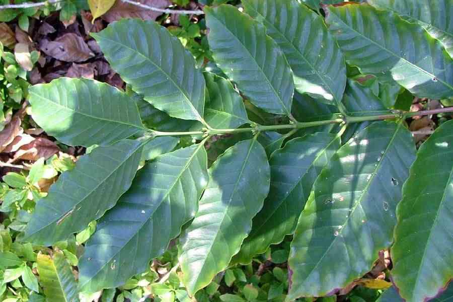 Coffea arabica for Coffea arabica