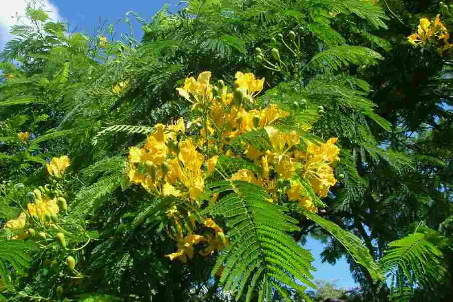 Delonix regia the yellow flowered form of poinciana which is generally known by the name delonix regia var flavida photo sheldon navie mightylinksfo