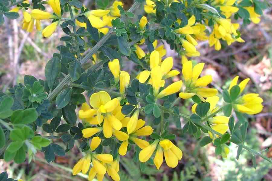 Genista monspessulana leaves and small flower clusters photo sheldon navie mightylinksfo