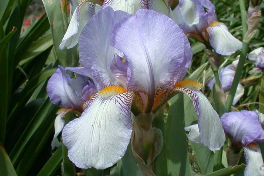 Iris germanica - Iris germanica ...