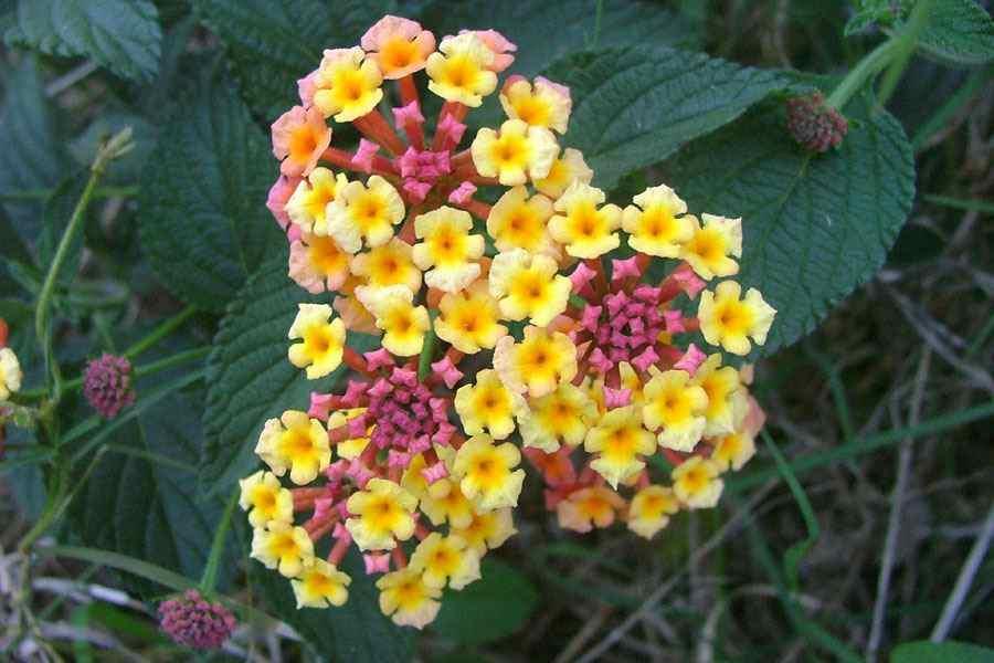 Lantana camara flower clusters photo sheldon navie ccuart Images