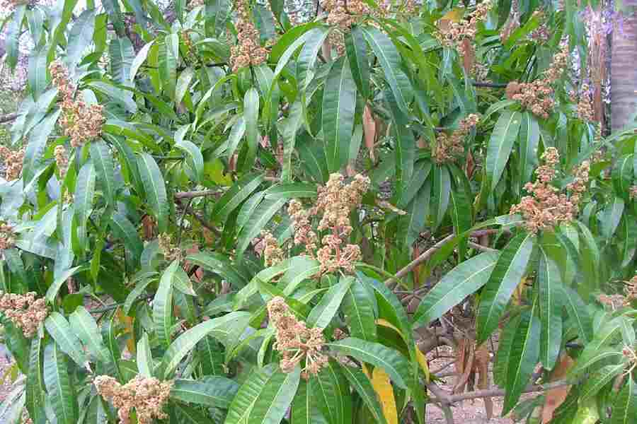 mangifera indica l Mangifera indica, commonly used herb in ayurvedic medicine although review articles on this plant are already published, but this review article is presented to compile all the updated.