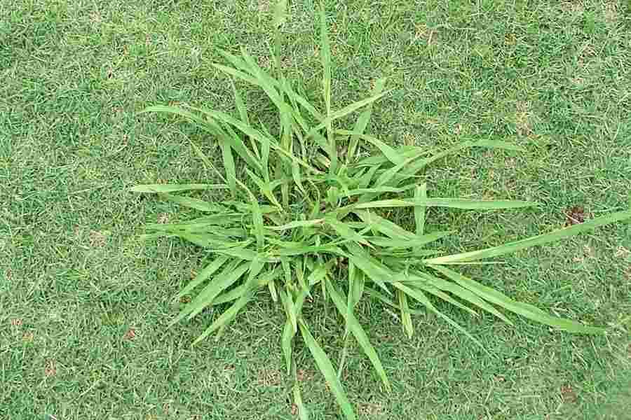 Paspalum urvillei. Vasey grass - Higher Plants and Ferns of ...