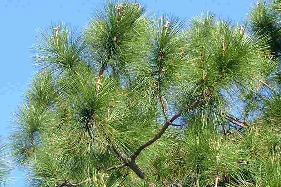 Resultado de imagen para Pinus caribaea