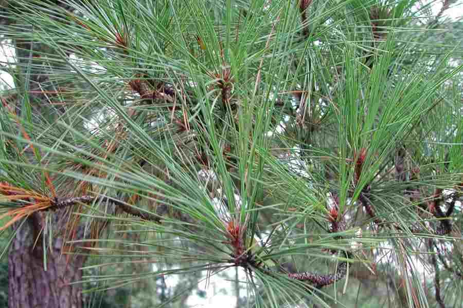 Pine  Wikipedia