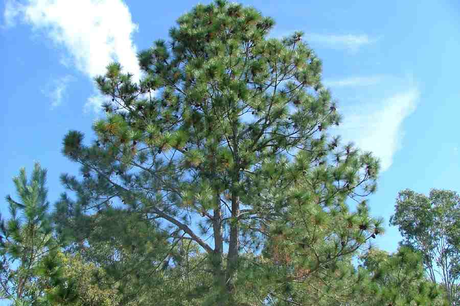 Pinus female cone