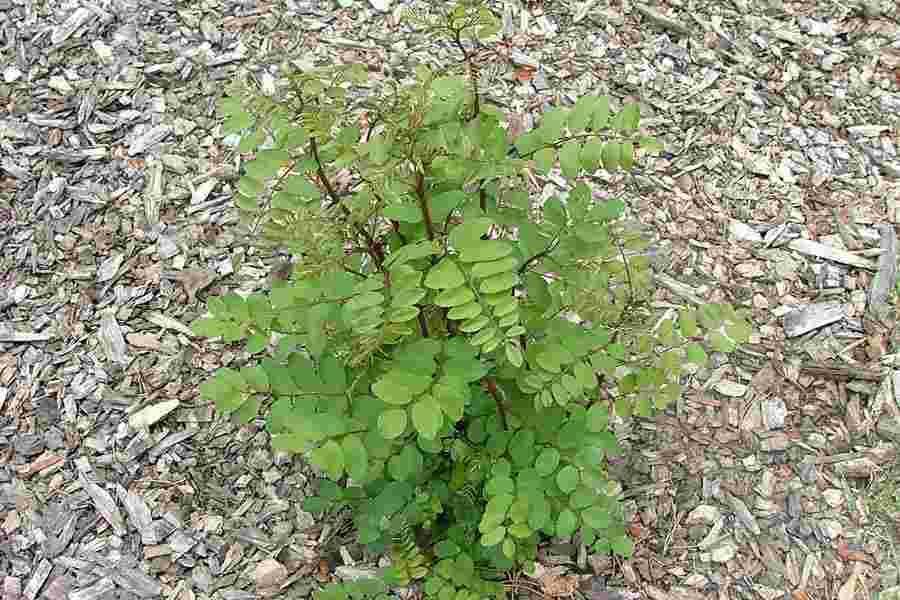 Robinia pseudoacacia vigorous root suckers photo sheldon navie robinia pseudoacacia mightylinksfo