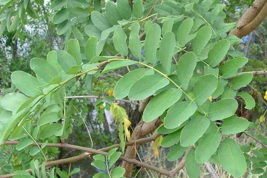 Robinia pseudoacacia the large once compound leaves photo sheldon navie mightylinksfo