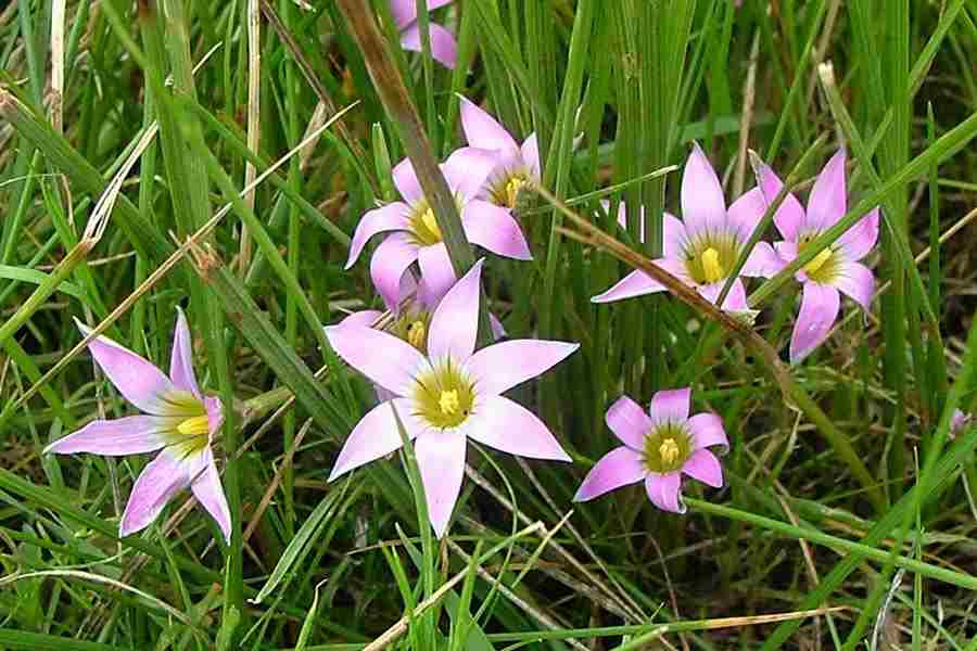 The Pink Flowers Of Romulea Rosea Var Australis Which Have Yellow Centres Bordered With White Photo Sheldon Navie