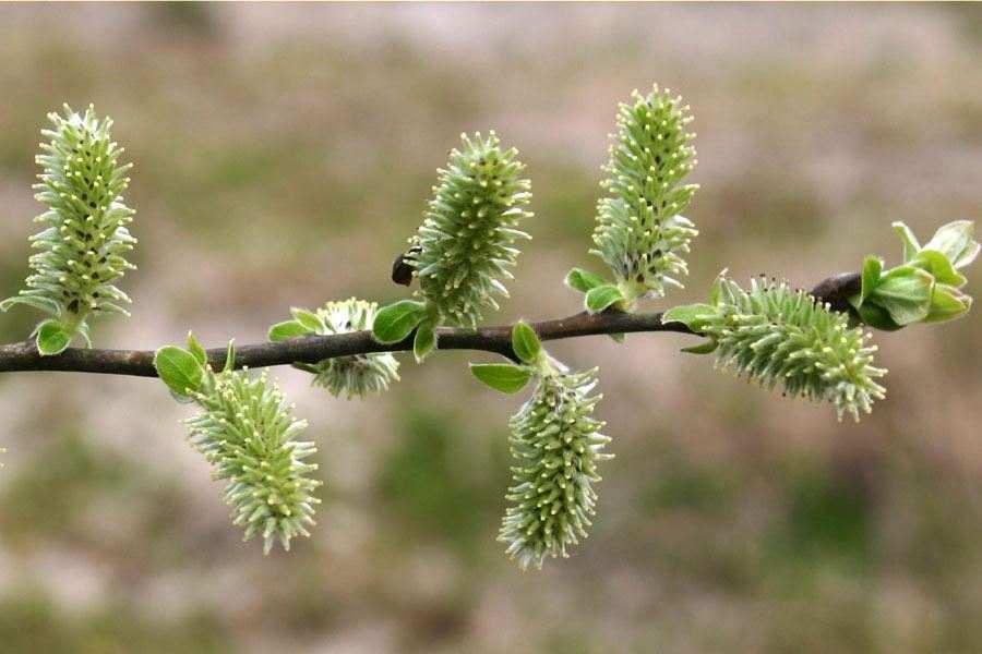 Salix Cinerea-3443