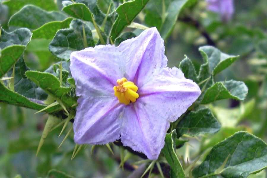 Solanum linnaeanum close up of purple flower with yellow stamens photo forest and kim starr usgs mightylinksfo