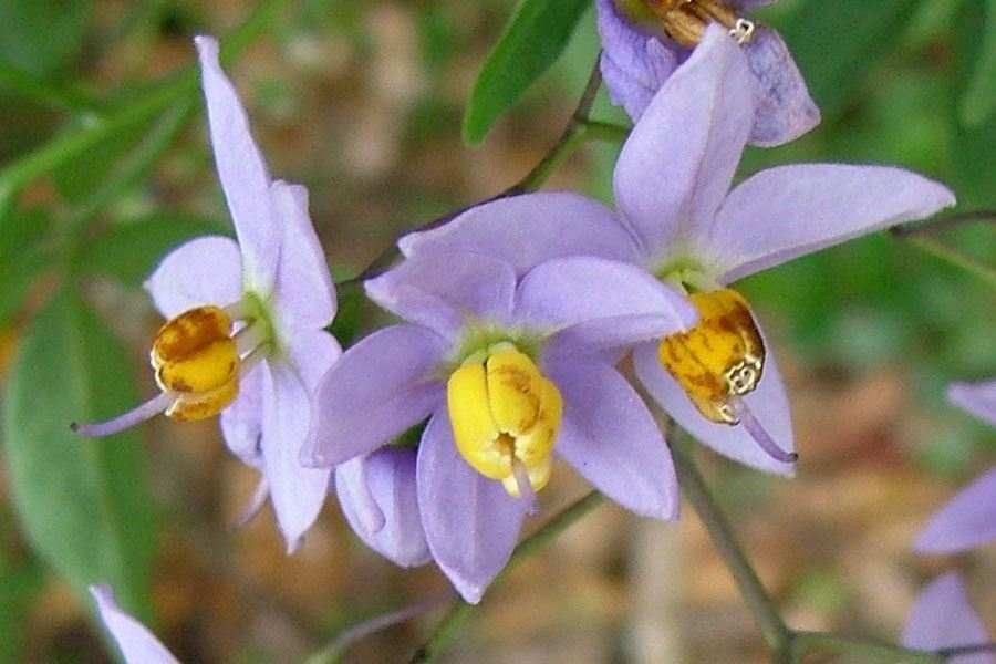 Solanum seaforthianum close up of star shaped bluish purple flowers with yellow stamens photo sheldon navie mightylinksfo