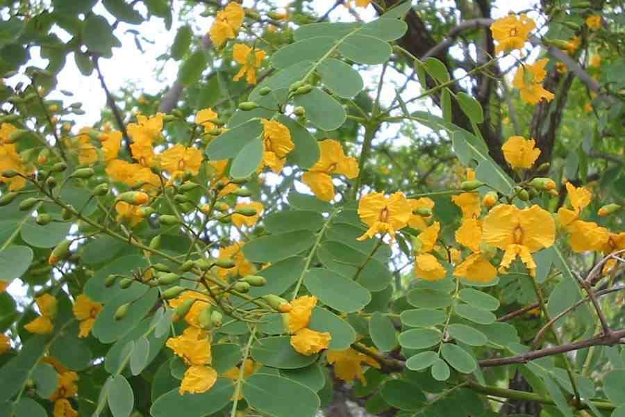 Tipuana tipu flower clusters photo sheldon navie mightylinksfo