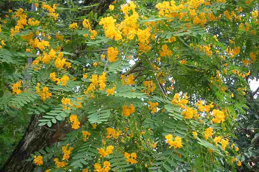 Tipuana tipu leaves and flowers photo sheldon navie mightylinksfo