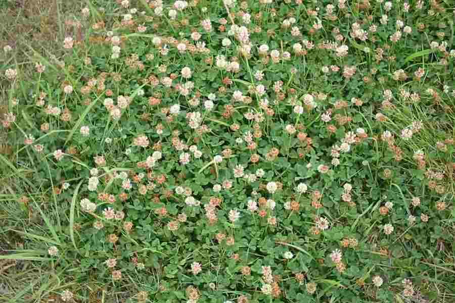 Trifolium repens habit in fruit photo sheldon navie mightylinksfo