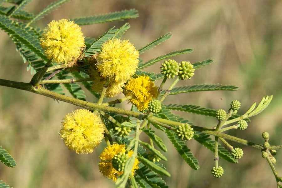 Dissemination Of Knowledge Acacia Nilotica Subsp Indica Acacia Arabica