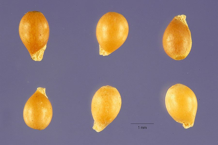 Close Up Of Seeds Photo Jose Hernandez At Usda Plants Database